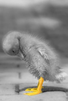 ⓕurry & ⓕeathery ⓕriends - photos of birds, pets & wild animals - ducky toes Cute Baby Animals, Animals And Pets, Funny Animals, Funny Birds, Cute Creatures, Beautiful Creatures, Beautiful Birds, Animals Beautiful, Pretty Animals