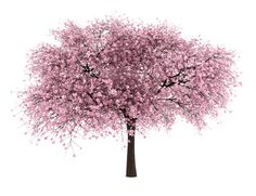 sour cherry tree isolated on white background - Royalty-free Branch - Plant Part Stock Photo Cherry Blossom Drawing, Cherry Blossom Wallpaper, Cherry Blossom Tree, Blossom Trees, Sour Cherry Tree, Tree Photoshop, Happy Little Trees, Japanese Tree, Tree Plan