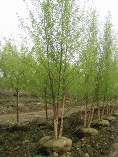 Heritage River Birch