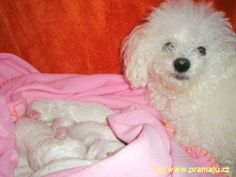 Cindy 11/2011b - Bichon Bolognese / Boloňský psík Bichon Bolognese, Dog Lady, Little Dogs, Adoption, Lovers, Pets, Animals, Beautiful, Little Puppies