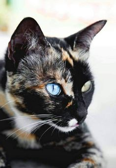 Cat Facts: Fun Trivia About Tortoiseshell Cats With 'Torti-tude' - Katzenrassen Beautiful Cats Cute Cats And Kittens, I Love Cats, Crazy Cats, Cool Cats, Kittens Cutest, Baby Kittens, Big Cats, Pretty Cats, Beautiful Cats