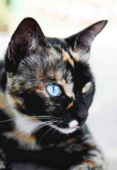 Cat Facts: Fun Trivia About Tortoiseshell Cats With 'Torti-tude' - Katzenrassen Beautiful Cats Pretty Cats, Beautiful Cats, Animals Beautiful, Beautiful Horses, Beautiful Pictures, I Love Cats, Crazy Cats, Cool Cats, Big Cats