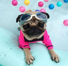 pugs in pools