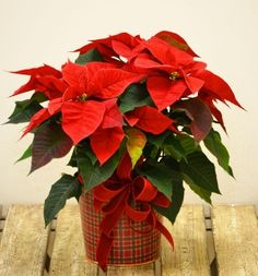 Wisconsin Grown poinsettia plant from Trig's Floral and Home