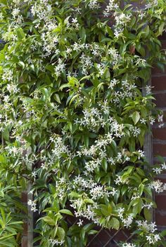 Widely planted in California gardens, this fragrant evergreen vine is great on walls, garden posts, and trellises, but it can also be used as a groundcover.