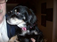 Meet Freckles a Petfinder adoptable Cocker Spaniel Dog | Slocomb, AL | Freckles approx 5 year old female, up to date w/ vaccinations and sprayed. Does well with other...