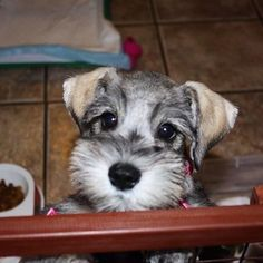 Ranked as one of the most popular dog breeds in the world, the Miniature Schnauzer is a cute little square faced furry coat. Miniature Schnauzer Puppies, Schnauzer Puppy, Schnauzers, Cute Puppies, Cute Dogs, Dogs And Puppies, Doggies, Baby Animals, Cute Animals