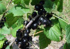 Výživa drobného ovoce: Čím a kdy hnojit rybíz, angrešt, maliník…   Zahrádkář Fruit, Food, Essen, Meals, Yemek, Eten