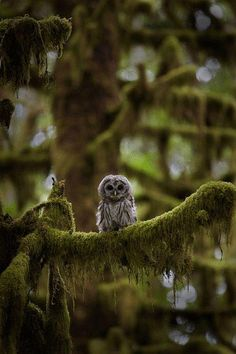 White Owl, in the Green Woods. Nature Photography.