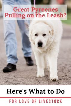 Pyrenees Puppies, Great Pyrenees Puppy, Dogs And Puppies, Puppy Training Tips, Training Your Dog, Training Pads, Training Classes, Training Online, Training Collar