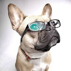 nerd glasses, SO chic. but CHICER (and cuter) on a French Bulldog Puppy. Animals And Pets, Baby Animals, Cute Animals, Bulldog Puppies, Dogs And Puppies, Cute Creatures, Funny Animal Pictures, Puppy Love, Best Dogs