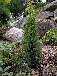 Juniperus communis ''Miniature' Juniper