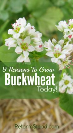There are so many reasons to start growing buckwheat. Here are 9 reasons to start growing your own buckwheat today!