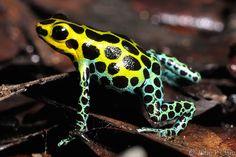rana venenosa - Cerca amb Google