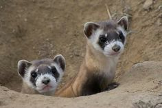 BLACK FOOTED FERRET....aka the American polecat or prairie dog hunter....a native to central North America....measures 19.7–26 inches long....once extinct in the wild....a captive breeding program has resulted in reintroduction into eight western states and Mexico from 1991 to 2008....now over 1,000 mature, wild-born animals exist