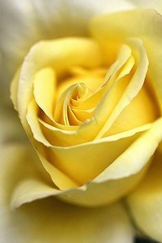 Yellow Rose - the most beautiful flower in the world