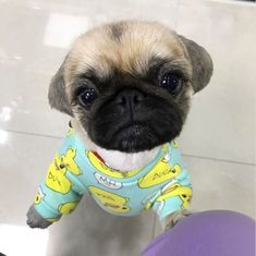 duck print on a silly pug