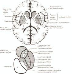 Cerebellar structures flocculus, tonsil, caudal medulla
