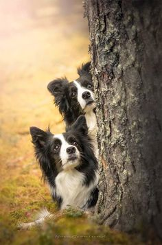 Two Border Collies Spotting Something in the Tree.