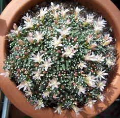 Mammillaria bocasana caterpincy