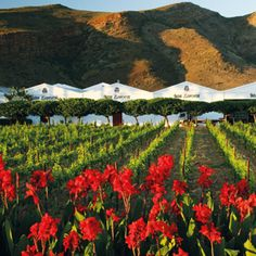 Van Loveren, Robertson vallei in die Wes-Kaap is Suid Afrika Places To Travel, Places To See, Namibia, Cape Town South Africa, Weekends Away, Beaches In The World, Wine Country, Trip Advisor, Van