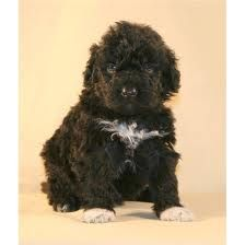 PWD - I am getting a puppy like this one day. Portuguese Water Dogs all the way!