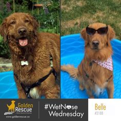 Belle 2188 reminding you that on #wetnosewednesday we wear pink #goldenretriever #rescuedog #secondchances #adoptdontshop Last Day Of Summer, Pretty And Cute, Rescue Dogs, Adoption, Swimming, Pink, Animals, Foster Care Adoption, Swim