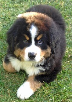 I don't always love dogs, but when I do they're Bernese Mountain Dogs...Who I am kidding? I always love dogs.