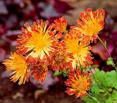 "Chrysanthemum ""Matchsticks"" - 18""+, full sun, blooms Aug - Oct. 5 - 9"