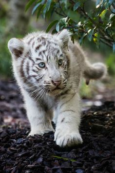 **White tiger cub - By: (Jean-Claude Sch.)