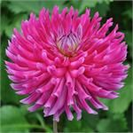 Swan Island Dahlias providing the highest quality dahlia bulbs and dahlia flower - * All Dahlias