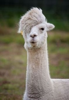 cool lama by savannah