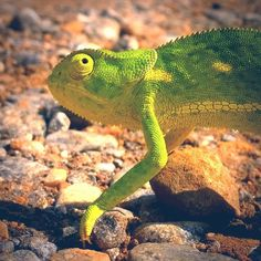 Nearly squashed this chameleon on my ride today. Then I had to pause my intervals because how cool is she!!! #chameleon #africa #africaphotos #travelphotography #travels #travel #training #natgeoyourshot #instago #instagood #instanimals #animals #lizard #cuteanimals #zambia #adventure #trails #animalphotography #photography