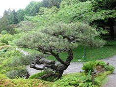 SJG bloom 2011: JUNE, p. 4: poor Camellia sinensis & what about 'Williamson' azalea?