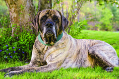 Recognized for his considerable size and wrinkles, the Mastiff has a dignified, self-assured personality. Training a Mastiff takes some patience; they weren't developed for routine obedience. Best Dogs For Families, Family Dogs, Mountain Dog Breeds, Old English Mastiffs, Massive Dogs, Animal Law, Bark At The Moon, Mastiff Breeds, Big Friends