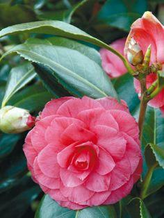 Ermunternde Farbspiele im Garten #kamelie #camellia #red #flower #plants #garden #pflanzenfreude