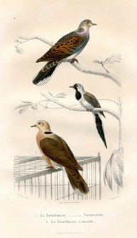 """cuvier birds french 1841 hand coloured engraving 7 x 11"""" $110 - 18"""