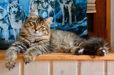 NoxtheSiberiancat Cats, Animals, Gatos, Animales, Kitty Cats, Animaux, Animal Memes, Cat Breeds, Kitty