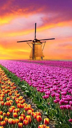 Paint By Number DIY Oil Painting By Number Windmill Tulip Farm Landscape Canvas Painting Kit by AniqueCo on Etsy Beautiful World, Beautiful Gardens, Beautiful Flowers, Beautiful Places, Beautiful Pictures, Spring Flowers, Wild Flowers, Flowers Garden, Purple Flowers