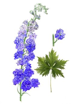 Delphinium. Delphinium Tattoo, Delphinium Flowers, Delphiniums, Exotic Flowers, Colorful Flowers, Beautiful Flowers, Watercolor Flowers Tutorial, Watercolor And Ink, Botanical Drawings