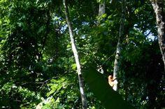 Após mais de um século sem ser visto na cidade do Rio, pesquisadores avistaram três micos-leões-dourados na Reserva Biológica Fiocruz Mata Atlântica (Imagem de divulgação/Fiocruz/direitos reservados)