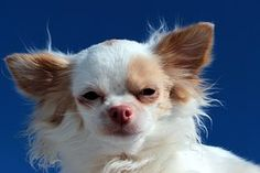 """You know the type. The little dog that growls and barks and acts more Rottweiler than Yorkie. You laugh and say that the dog has """"Napoleon syndrome"""" or """"small dog syndrome."""" But what causes small dog syndrome? Is it a … Small Dog Breeds, Small Dogs, Chihuahua, Yorkie, Rum, Dog Spa, Dog Commands, Dog School, Sleeping Dogs"""
