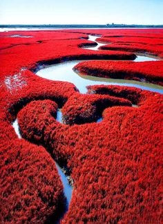 Panjin Red Beach, China - located in Dawa County, Panjin, Liaoning, China, is famous for its landscape featuring the red plant of Chenopodiaceae, Suaeda salsa. It is based in the biggest wetland and reed marsh in the world.