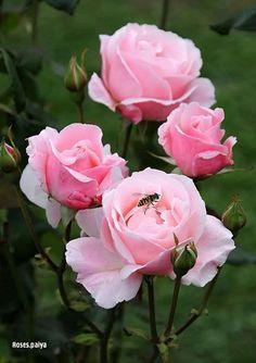 Pink David Austin Roses, All Flowers, Tulips, Plants, Pink, Beautiful, Butterflies, Garden Ideas, Google