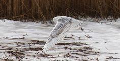 Snowy Owl Salisbury Beach MA 2014 Marsha DiNardo M&M Photography