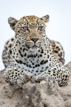 Big Cats - African Leopard - by J. Uriarte