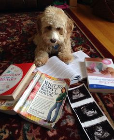 Baby guard dog duty begins in August!! Cavapoo puppy, pregnancy announcement. --- http://tipsalud.com -----