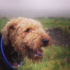Find us on Instagram! On a cloudy day a dog's smile is like sunshine . Double tap if you agree!  . . . . . You want to be featured? Follow me and send me a DM with your picture. . . . . #instagramdog #airedale #airedaleterrier #terriers #terrierlove #hounddog #hounds #houndsofinstagram #canine #dogsarebetterthanpeople #dogfriendly #doggram #dogsoftheworld #dogsofintagram #dogoninstagram #airedales #fujifilx30 #terrier #instaterrier #terriergram #airedalesofinstagram