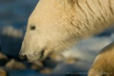 Polar bears International.....!!!