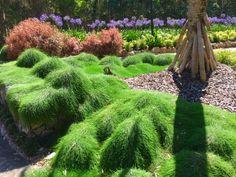Casuarina cousin it Australian Native ground cover